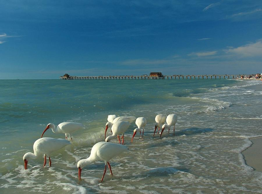 Florida Photograph - White Ibis Near Historic Naples Pier by Juergen Roth