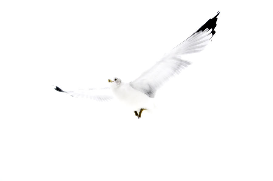 Seagull Photograph - White In Flight by Emily Stauring