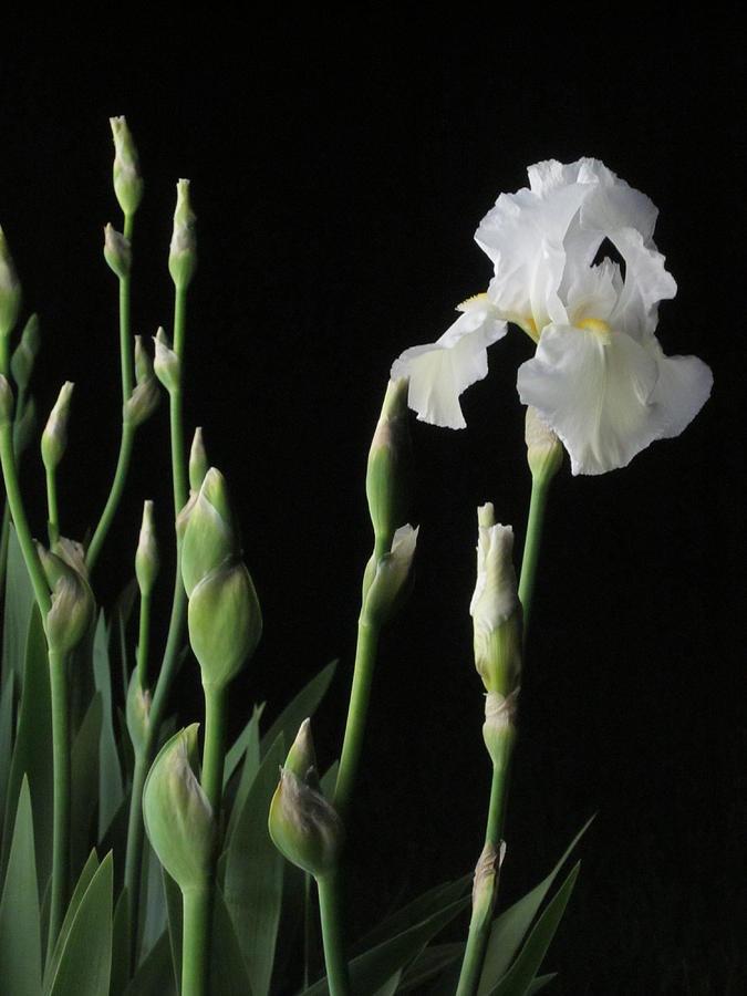 Night Photograph - White Iris In Black Of Night by Guy Ricketts