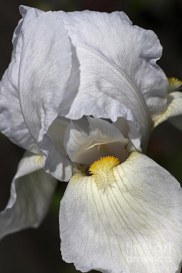 White Iris Photograph - White Iris by Joy Watson