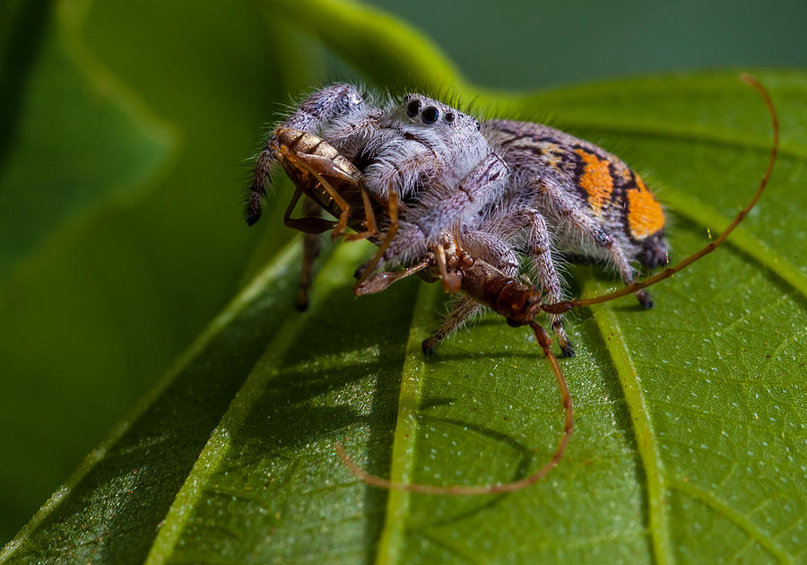 White Photograph - White Jumping Spider With Prey by Craig Lapsley