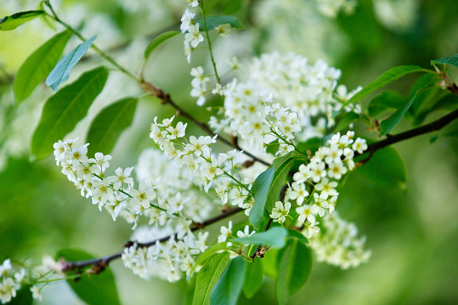 Lilac Photograph - White Lilac by Nailia Schwarz