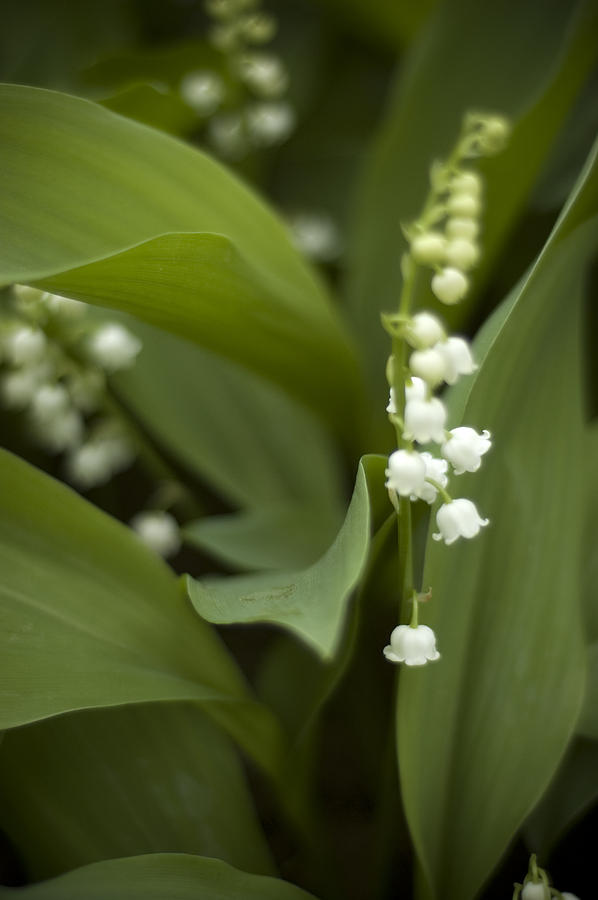 White Lilly Of The Valley Photograph