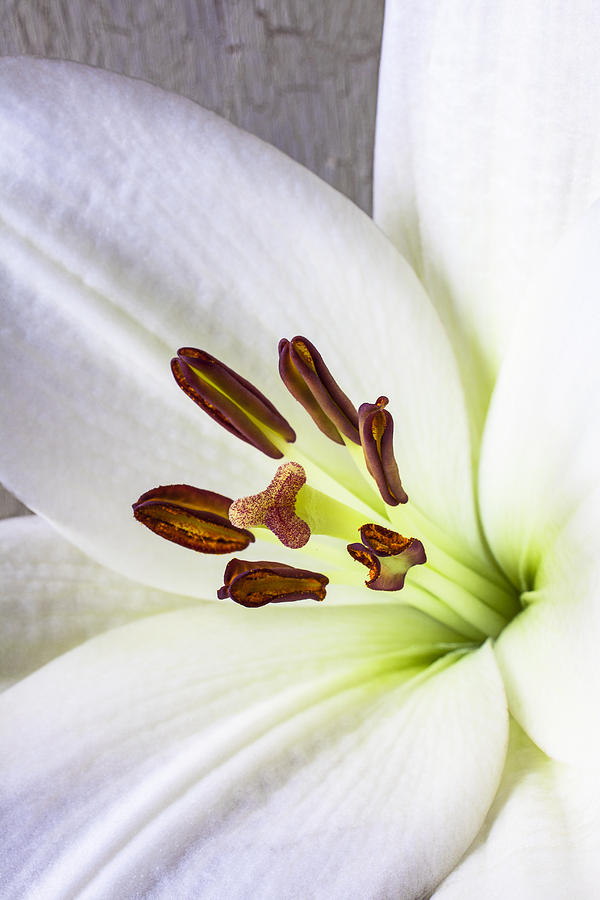 White Lily Photograph - White Lily Close Up by Garry Gay