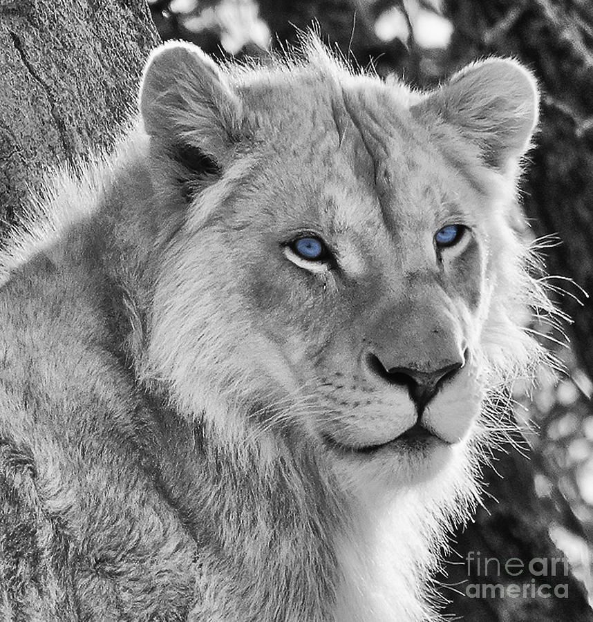 white lion with blue eyes photograph by les palenik