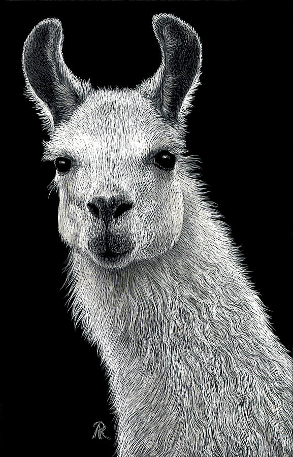 White Llama Drawing By Ann Ranlett