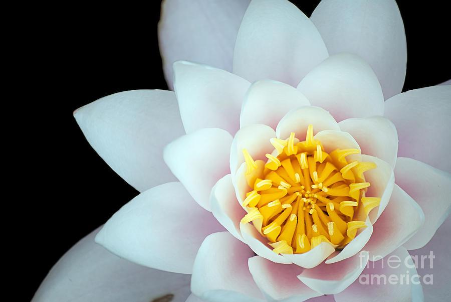 White Lotus Flower Photograph By Antony Mcaulay