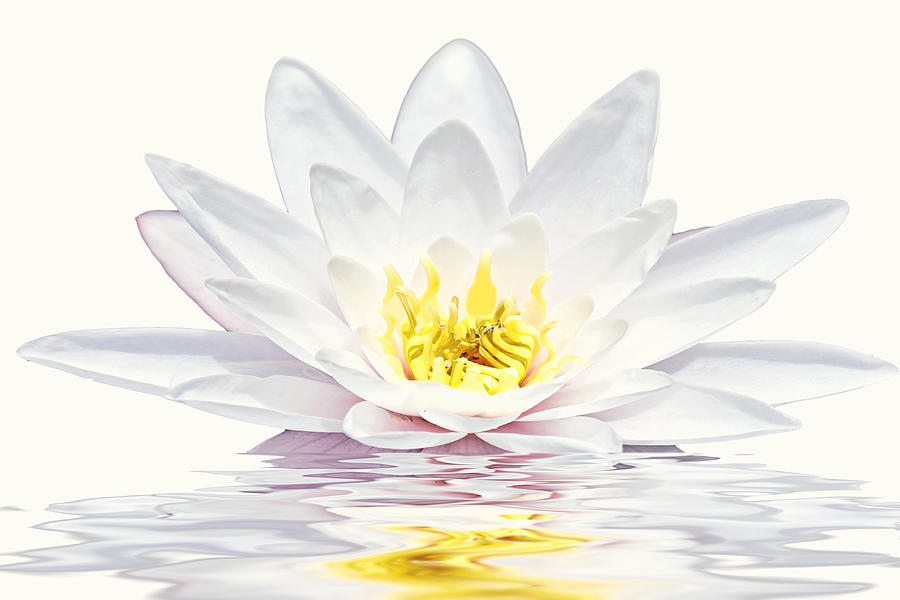 White Lotus flower in water Photograph by Nisangha Ji