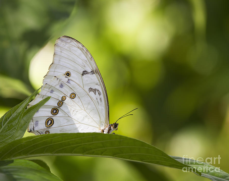 White Photograph - White Morpho   by Anne Rodkin