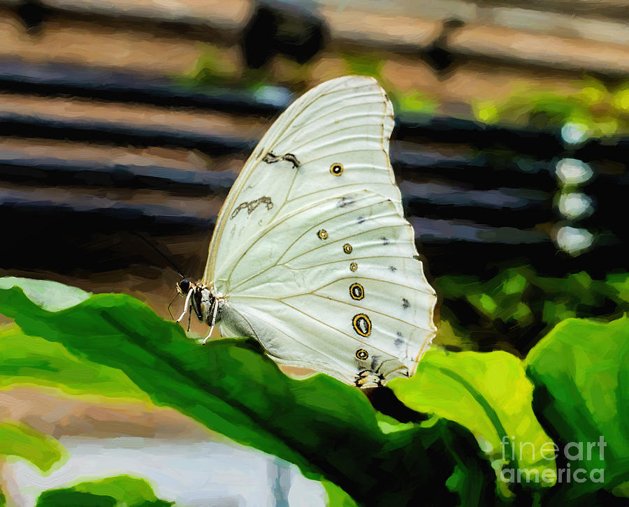 White Morpho Butterfly Photograph - White Morpho by Jon Burch Photography