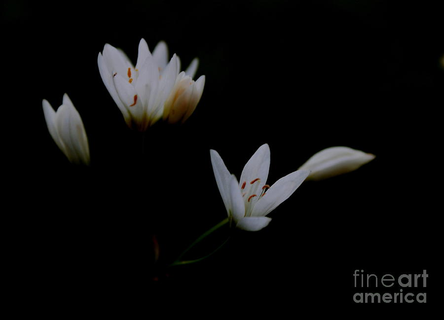 Flower Photograph - White on Black by Kimberly Saulsberry