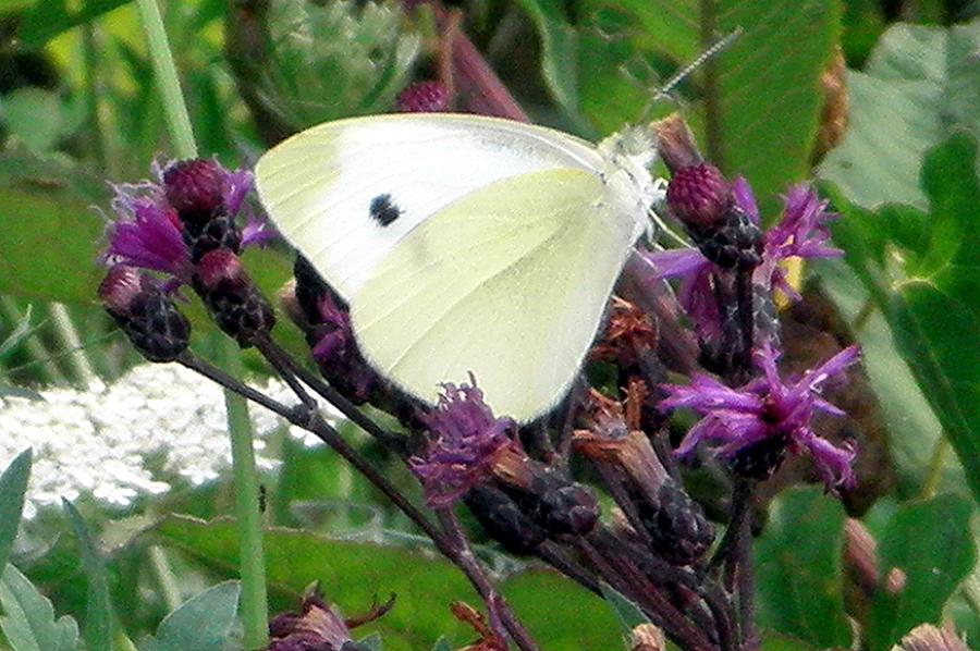 Butterfly Photograph - White On Purple On Green by Robert Lance