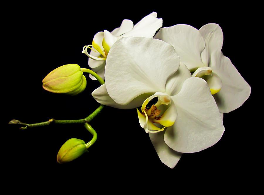 White Orchid IV by Eva Kondzialkiewicz