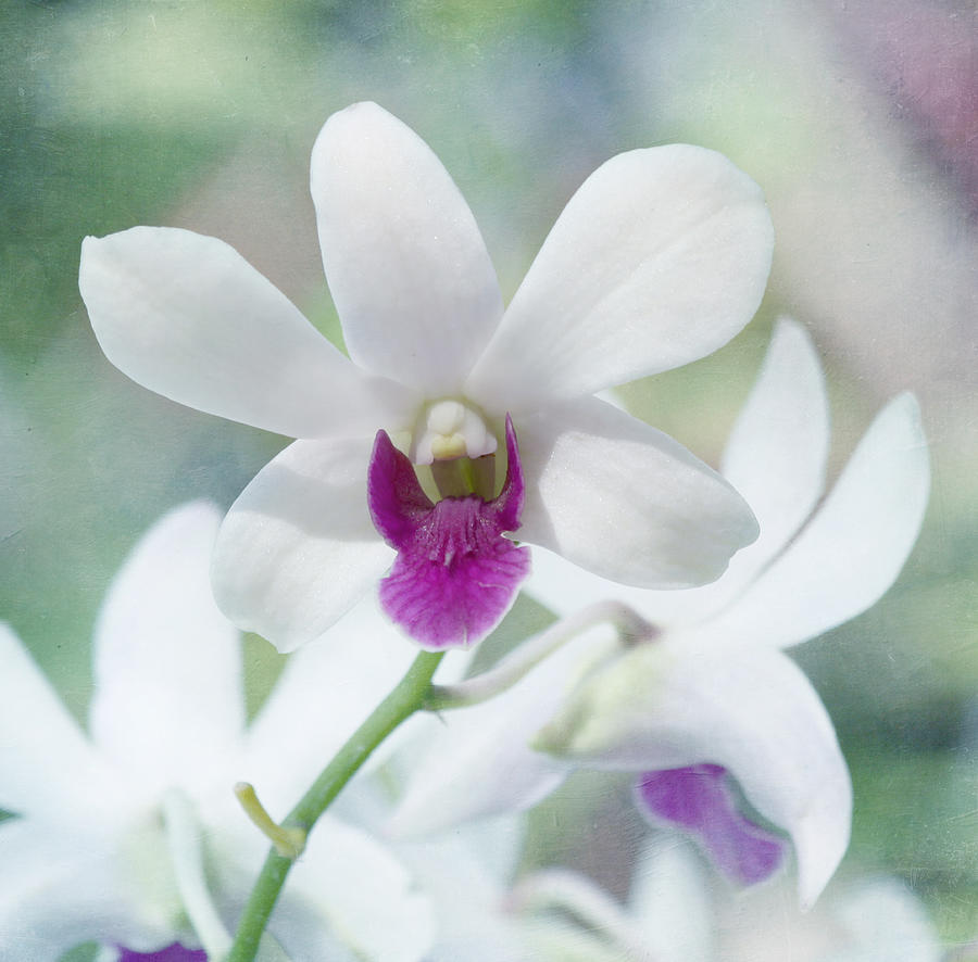 Orchid Photograph - White Orchid by Kim Hojnacki