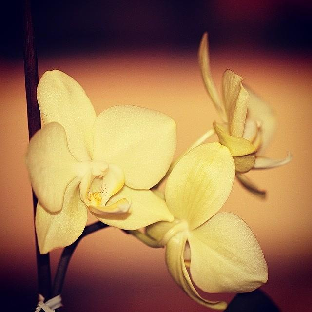 Flower Photograph - White Orchid by Luisa Azzolini