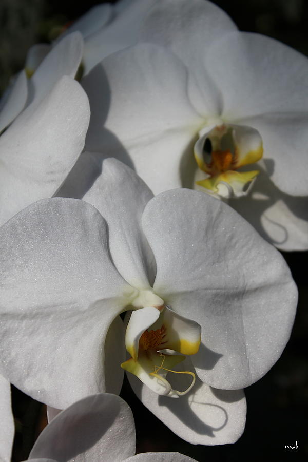 White Orchid Photograph - White Orchid by Mark Steven Burhart