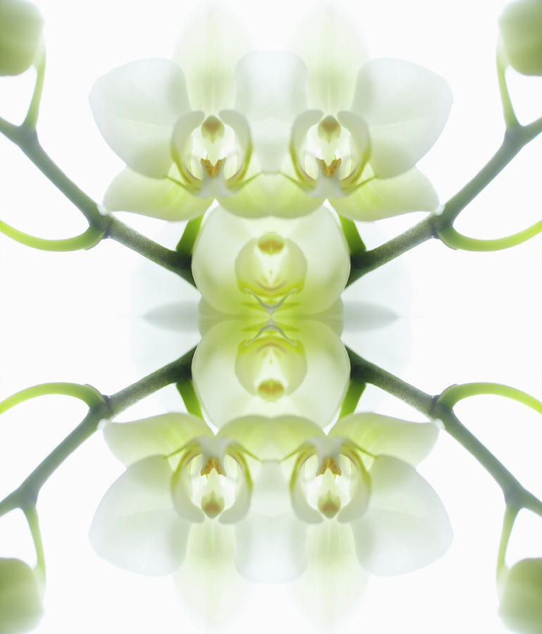 Tranquility Photograph - White Orchid With Stems by Silvia Otte
