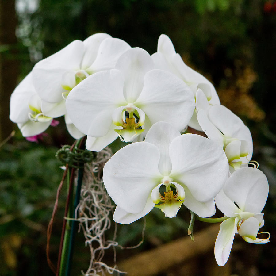 Flower Photograph - White Orchids 2 by Timothy Blair