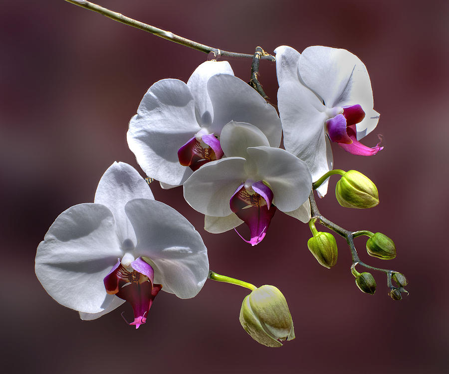 Orchids Photograph - White Orchids by Bob Mulligan