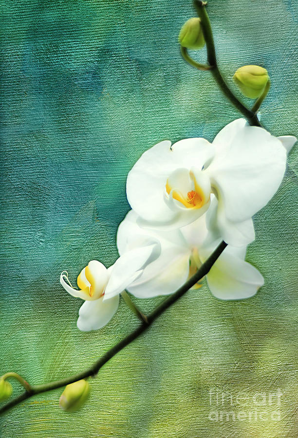 Texture Photograph - White Orchids by Darren Fisher