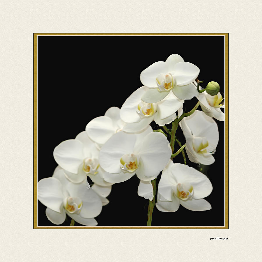 White Orchids Photograph - White Orchids II by Tom Prendergast
