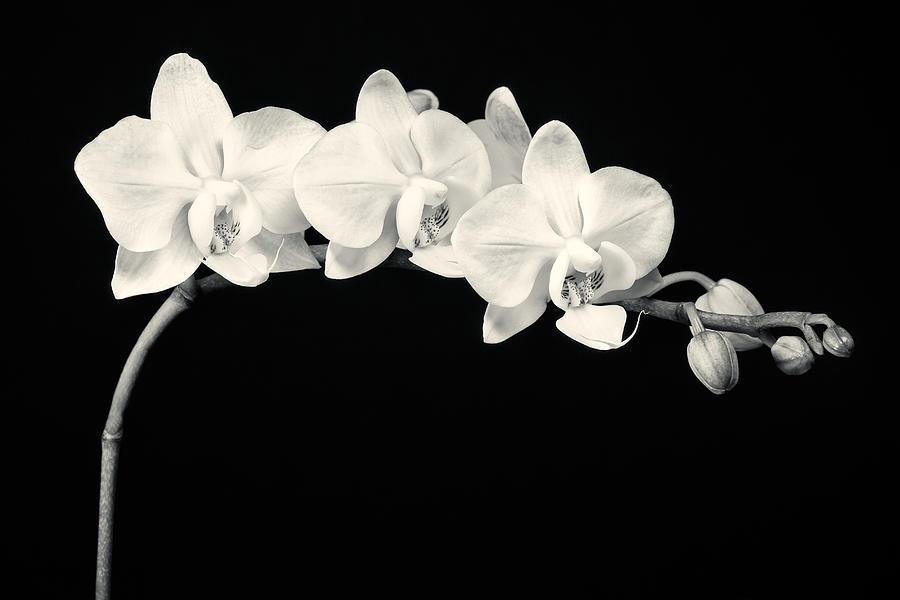 3scape Photograph - White Orchids Monochrome by Adam Romanowicz