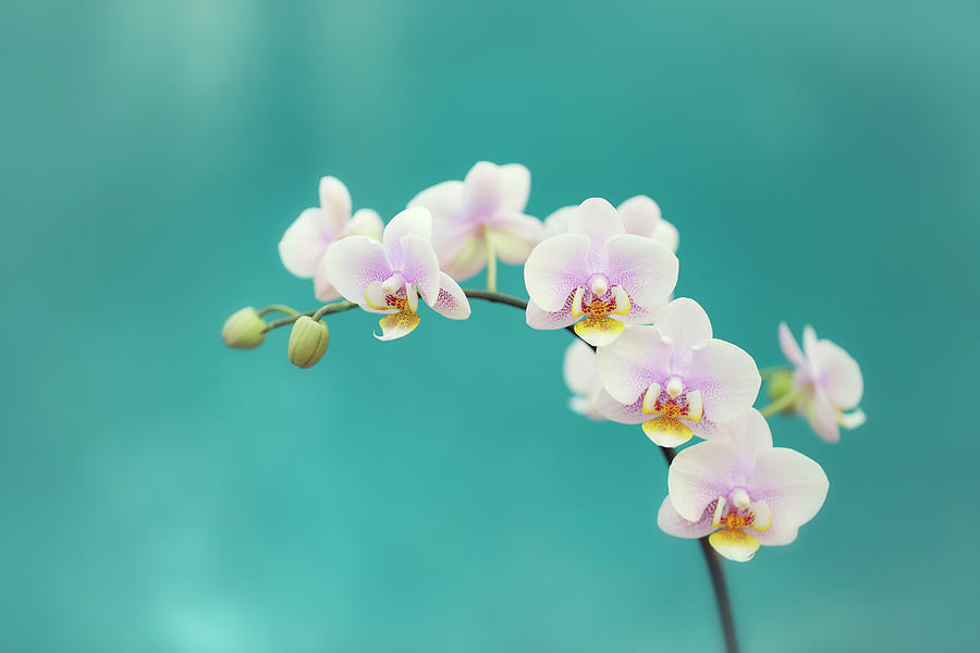 White Orchids On Blue Photograph by Susan Gary
