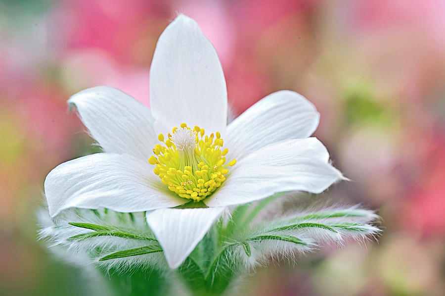 White Pasque Flower Photograph by Jacky Parker Photography