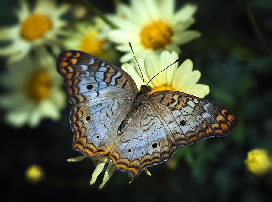 White Peacock Photograph - White Peacock Butterfly On A Daisy by Saija  Lehtonen