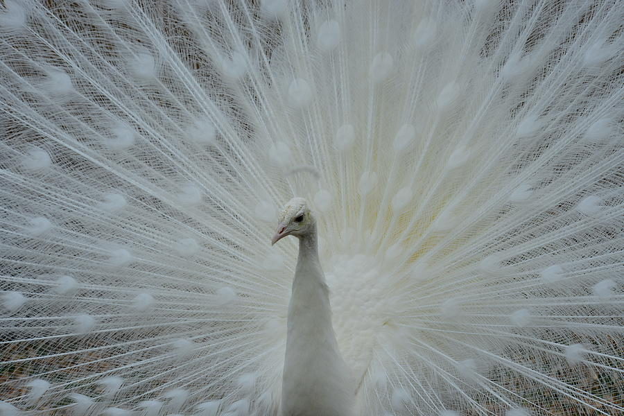 White Peacock Photograph - White Peacock by T C Brown