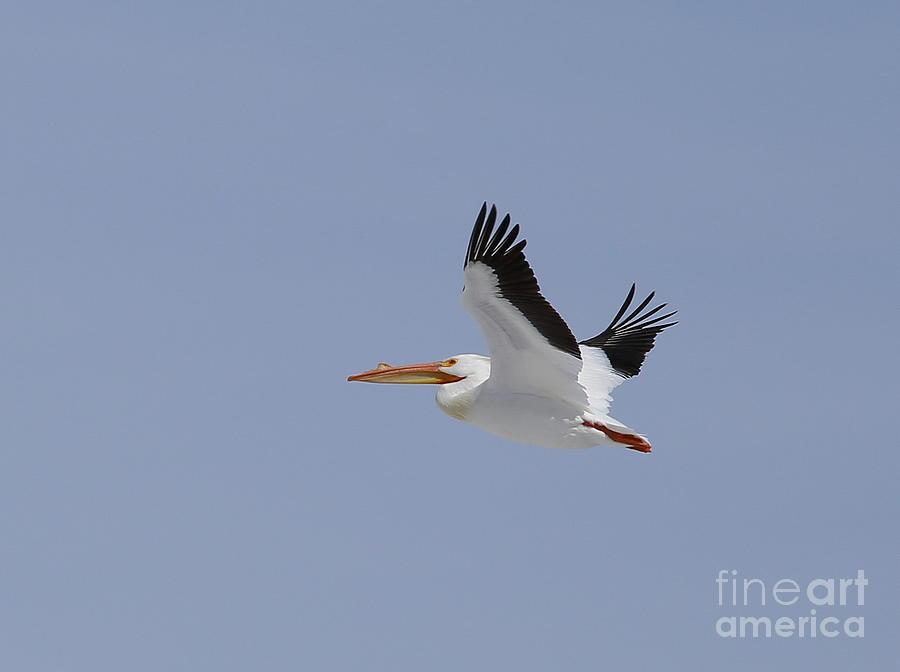 White Pelican In Flight Photograph by Marty Fancy