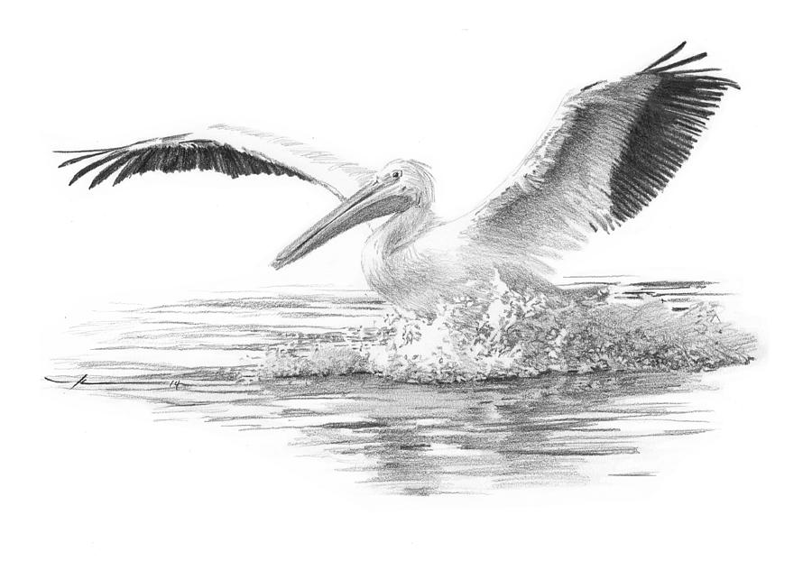 White Pelican Pencil Portrait Drawing by Mike Theuer