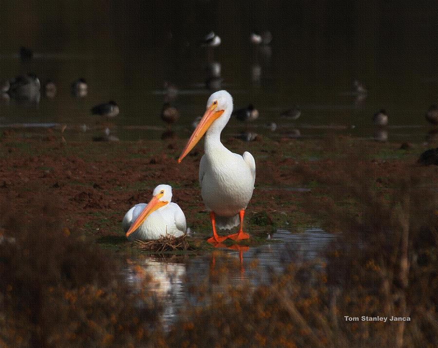 White Pelican Visitors To Gilbert Arizona Photograph by Tom Janca