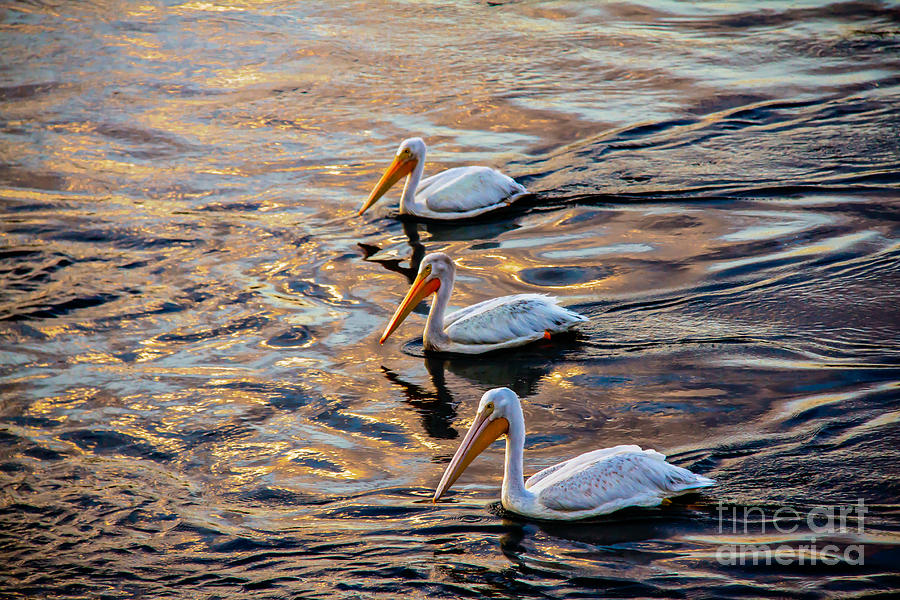 Birds Photograph - White Pelicans  In Golden Water by Robert Bales