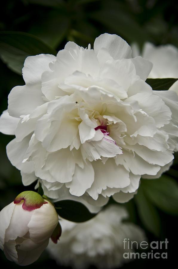 White Peonies Photograph