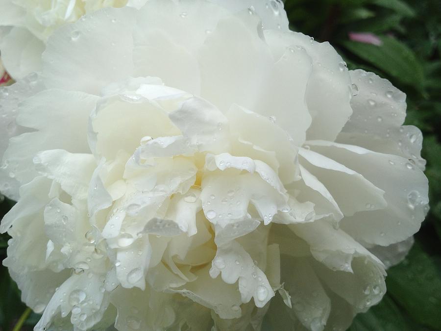 White Flower Photograph - White Peony After Rain 1 by Pema Hou