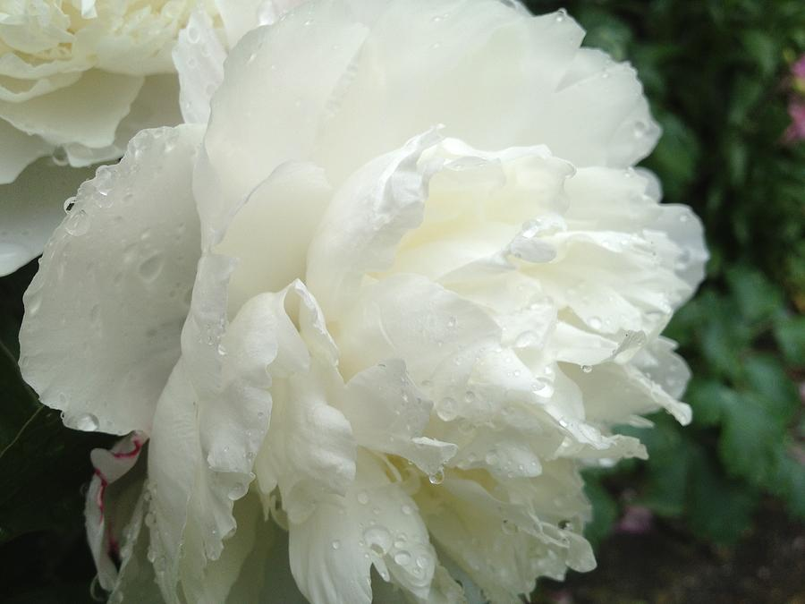 White Flower Photograph - White Peony After Rain by Pema Hou
