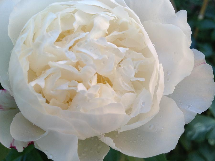 White Photograph - White Peony by Pema Hou