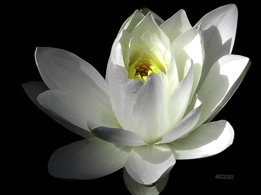Water Lily Photograph - White Petals Aquatic Bloom by Julie Palencia