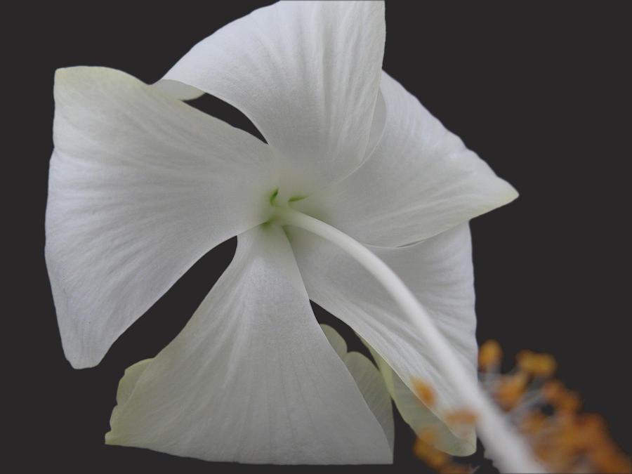 White Petals Photograph by Rohit Jadav