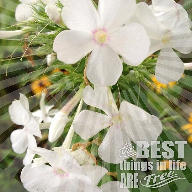 Summer Photograph - #white #phlox #garden #flower #bloom by Teresa Mucha