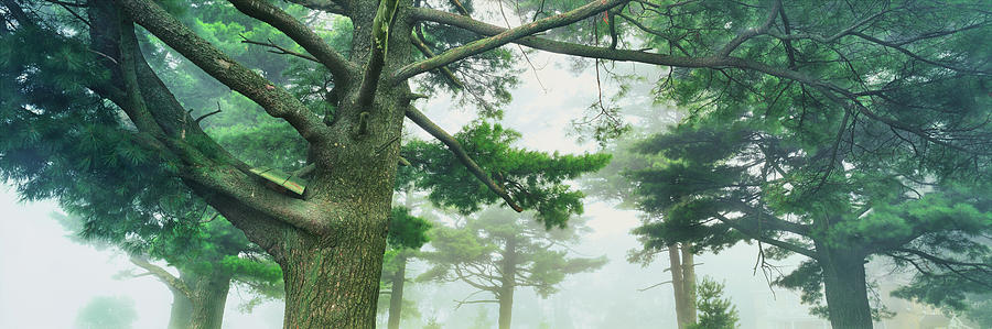 Horizontal Photograph - White Pine Trees, Wisconsin, Usa by Panoramic Images