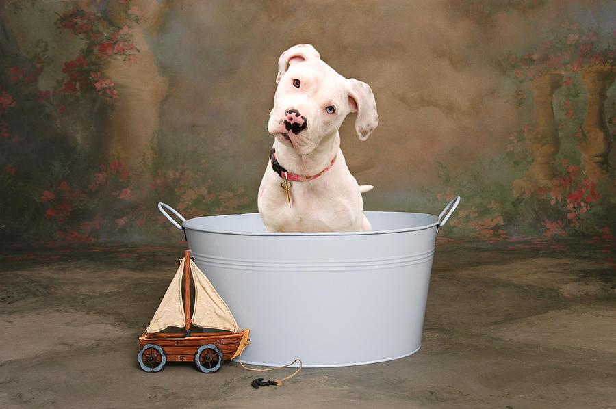 Dog Photograph - White Pitbull Puppy Portrait by James BO  Insogna