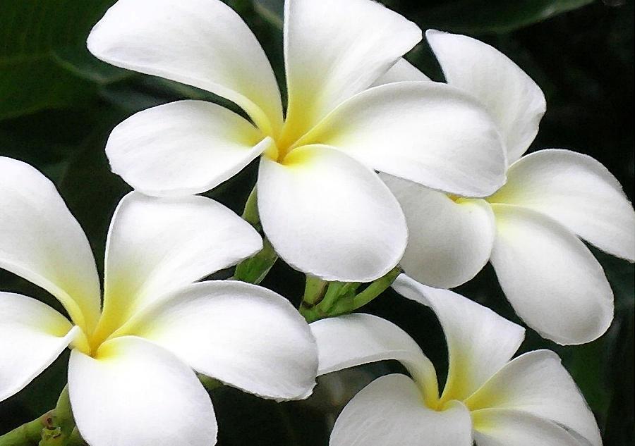Plumeria Photograph - White Plumeria by James Temple