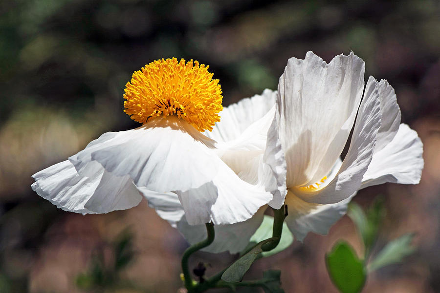 White poppy matilija flower photograph by michael moriarty white photograph white poppy matilija flower by michael moriarty mightylinksfo