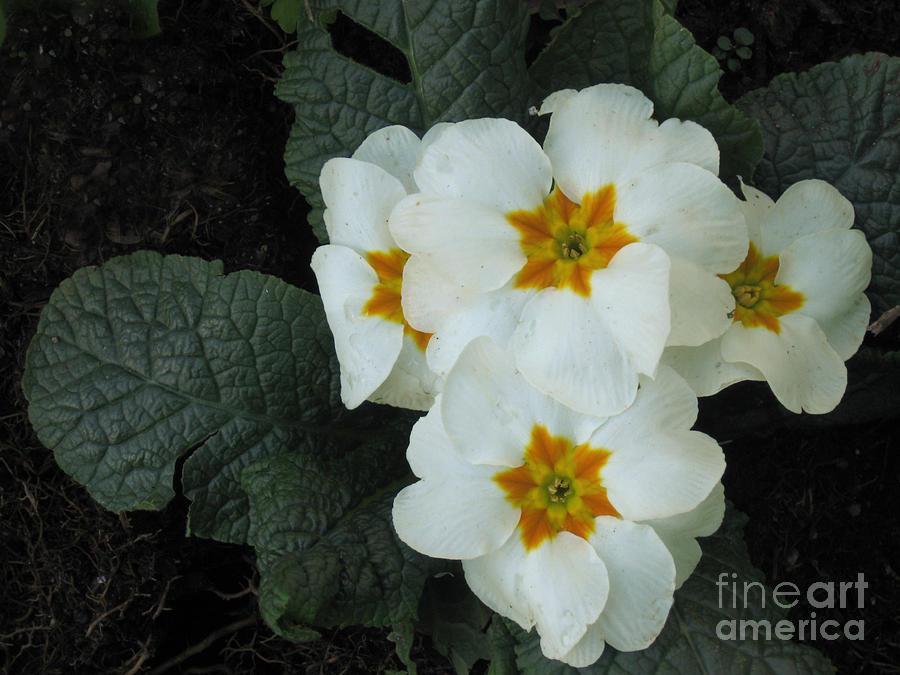 Pacific Northwest Photograph - White Primroses by Ellen Miffitt