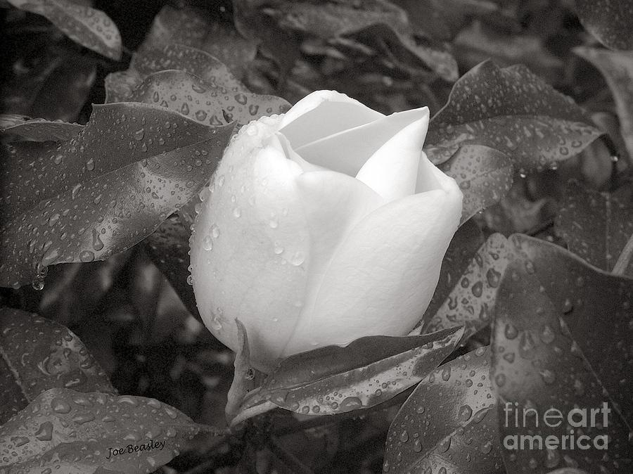 Flowers Photograph - White Rain by   Joe Beasley