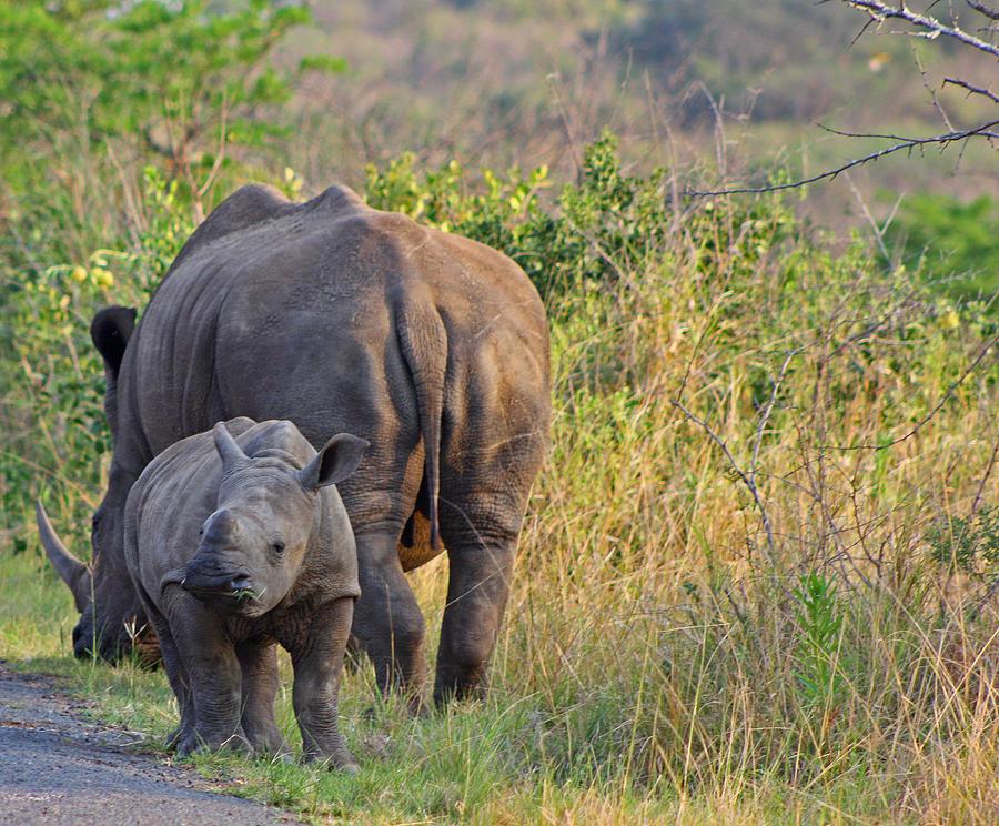 White Rhino Photograph - White Rhino  by Gerhardt Marais