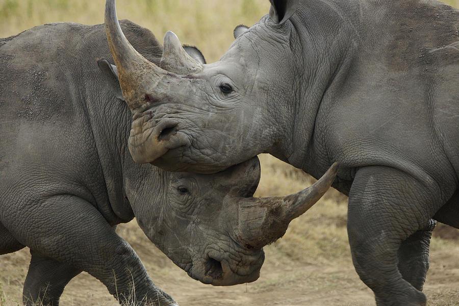 White Rhino Males Fighting Solio Game Photograph by Hiroya Minakuchi