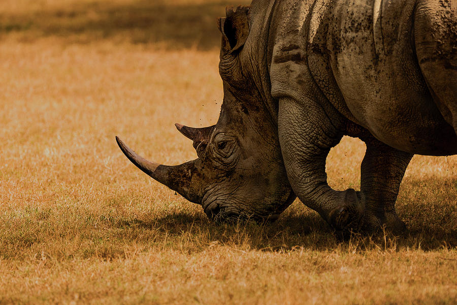 Rhino Photograph - White Rhino by Massimo Mei